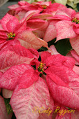 Pink Christmas Poinsettia
