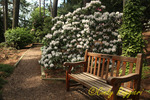 Rhododendrons in bloom, Cornell Plantations, Cornell University Ithaca NY