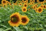 Field of Sunflowers, Old Sawmill Farm, Coventry Rhode Island