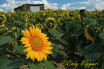 A Standout Sunflower, King Ferry, New York, Finger Lakes region