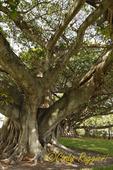 Banyan Tree, West Palm Beach, Florida