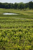 Vineyard along Seneca Lake, Finger Lakes region, NY