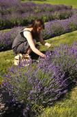 Lavender Festival, Skaneateles, NY, Finger Lakes Region
