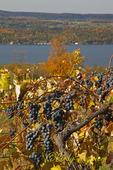Grapes along Seneca Lake, Finger Lakes Region