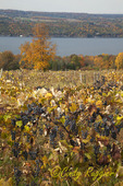 Grapes on the vine, Seneca Lake in the background, FInger Lakes region
