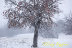 Snow and Apple Tree