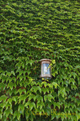 Ivy covered wall with lantern