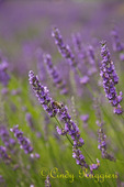 Detail, bee on lavender, Lavender Festival, Skaneateles New York