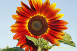 Red Sunflower close-up