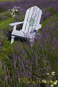 Adirondack chair in the Lavender Field