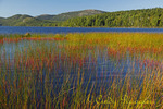 Colorful reeds, Eagle Lake, Acadia National Park, Maine