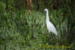 Snowy Egret, Green Cay Wetlands, Boynton Beach, Florida