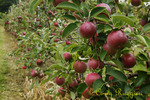 Ready to Pick Apples