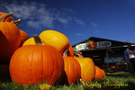 Pumpkins at Jackson's Farm, Endicott NY