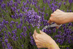 U-Pick Lavender at the Lavender Festival, Skaneateles NY