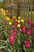 Tulips along wooden fence