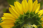 Close-up of reverse side of sunflower