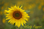 Single sunflower, soft focus
