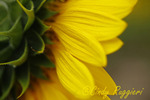 Close-up, side view of sunflower