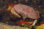 Crab amid ocean life, tide pool in the Atlantic Ocean off the coast of Maine