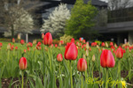 Tulips in front of Corning Glass office building, Corning New York
