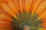 Gerbera Daisy from Behind