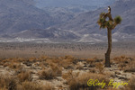 Hawk in Death Valley, California