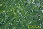 Lotus leaf with raindrops