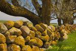 Moss covered stone wall, Block Island, Rhode Island