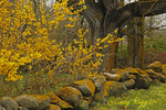 Moss covered stone wall, matching spring blooms, Block Island, Rhode Island