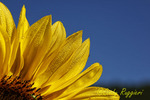 Sunflower and Dew