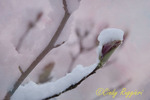 Tulip tree bud covered in snow