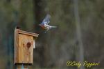 Bluebird at his birdhouse