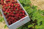 Strawberry U-Pick