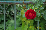 Rose on Rusty Fence
