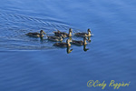 Duck Family Swimming on the Lake