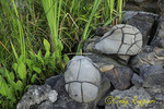 Turtle Stones, found in the Finger Lakes