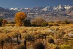 Autumn colors against Sierra Nevada Mountains, Bishop California