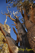 Ancient Bristlecone Pine Forest, Schulman Grove, Inyo National Forest, California