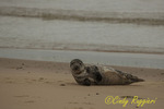 Gray seal, resting on the sand at Block Island Rhode Island