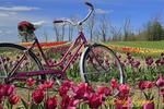 Tulip Farm,  Brown Hill Farms, Tunkhannock, PA