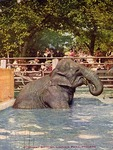 Elephant Bathing, Lincoln Park, Chicago