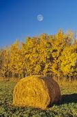 hay roll/ aspen trees in autumn