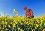 young farmer examining canola