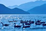 Canada Geese, Coastal Mountains