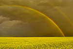 rainbow over canola field