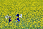 boys with insect nets in canola field