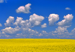 canola field/cumulus clouds