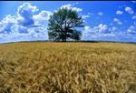 elm tree/barley tree