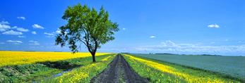 cottonwood tree/ road going through farmland